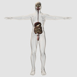 Medical Illustration of Male Digestive System And Urinary System Photographic Print by Stocktrek Images