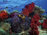Orange-finned Clownfish And Soft Corals On Colorful Reef, Fiji Photographic Print by Stocktrek Images