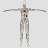 Medical Illustration of Female Lymphatic System with Heart Photographic Print by Stocktrek Images