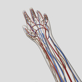 Medical Illustration of Arteries, Veins And Lymphatic System in Hand And Arm Photographic Print by Stocktrek Images