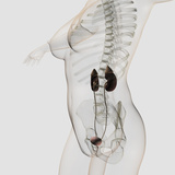 Three Dimensional View of Female Urinary System Photographic Print by Stocktrek Images