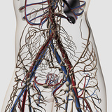 Medical Illustration of Arteries, Veins And Lymphatic System in Female Midsection Photographic Print by Stocktrek Images