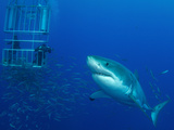 Male Great White Shark And Divers, Guadalupe Island, Mexico Photographic Print by Stocktrek Images