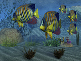 Royal Angelfish Shimmer with Their Gorgeous Colors Near a Coral Reef Photographic Print by Stocktrek Images
