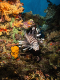Lionfish, Fiji Photographic Print by Stocktrek Images