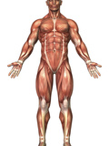 Anatomy of Male Muscular System, Front View Photographic Print by Stocktrek Images