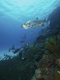 School of Tarpon, Bonaire, Caribbean Netherlands Photographic Print by Stocktrek Images