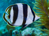 Close-up of a Banded Butterflyfish Photographic Print by Stocktrek Images