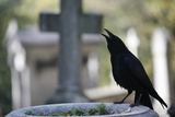 Crow on a Grave Photographic Print