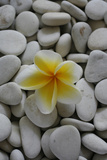 Frangipani Tree Flower on Stones Photographic Print