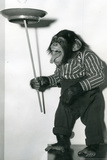 Chimp Monkey Spinning Plate Poster Posters