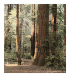 Redwoods 2 Posters by Laura Culver