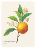Orange Fruit - From the Book: Choix des Plus Belles Fleurs Prints by Pierre-Joseph Redouté