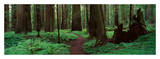 Redwoods Path Prints by Alain Thomas