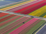 Tractor in Tulip Fields, North Holland, Netherlands Photographic Print by Peter Adams