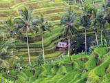 Indonesia, Bali, Ubud, Tegallalang and Ceking Rice Terraces Photographic Print by Michele Falzone
