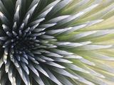 USA, Hawaii, Maui, Haleakala National Park, Silversword Plant (Argyroxiphium Sandwicense) Photographic Print by Michele Falzone