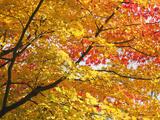 Japan, Kyoto, Arashiyama, Adashino Nembutsu-ji Temple, Autumn Leaves Photographic Print by Steve Vidler