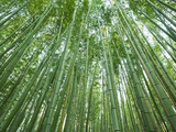 Japan, Kyoto, Arashiyama, the Bamboo Forest Photographic Print by Steve Vidler