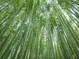 Japan, Kyoto, Arashiyama, the Bamboo Forest Photographic Print by Steve Vidler