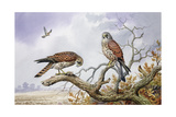 Pair of Kestrels Giclee Print by Carl Donner