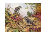 Honey Buzzards Giclee Print by Carl Donner