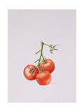 Three Tomatoes on the Vine, 1997 Giclee Print by Alison Cooper