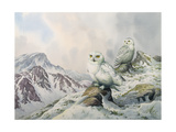 Pair of Snowy Owls in the Snowy Mountains, Australia Giclee Print by Carl Donner
