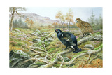 Black Grouse on a Moor Giclee Print by Carl Donner