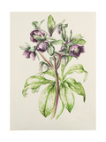 Helleborus Orientalis from Helen Ballard (Dark Purple Flowers) Giclee Print by Alison Cooper