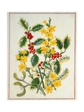 Holly, Winter Jasmine, Heath and Mistletoe Giclee Print by Ursula Hodgson