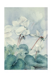 Cyclamen, Triumph White Giclee Print by Karen Armitage