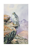 Gyrfalcon Giclee Print by Carl Donner