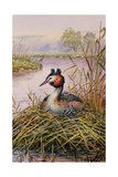 Great-Crested Grebes Giclee Print by Carl Donner