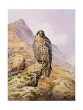 Peregrine Falcon Giclee Print by Carl Donner