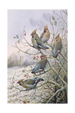 Waxwings Giclee Print by Carl Donner