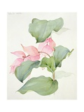 Medinilla Magnifica Giclee Print by Sarah Creswell