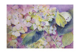 Pale Clouded Yellow Butterfly, Colias Hyale on Hydrangea Giclee Print by Karen Armitage