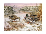 Mallards in a Quiet Corner Giclee Print by Carl Donner