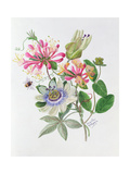 Honeysuckle and Passion Flower Giclee Print by Ursula Hodgson