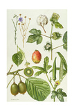Kiwi Fruit and Other Plants Giclee Print by Elizabeth Rice
