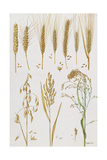 Wheat and Other Crops Giclee Print by Elizabeth Rice