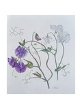 Sweet Pea, 1999 Giclee Print by Ruth Hall
