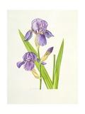 Iris Giclee Print by Elizabeth Rice