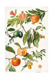 Pomegranate and Other Fruit Giclee Print by Elizabeth Rice