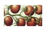 Tomato Vine, 1999 Giclee Print by Annabel Barrett