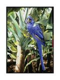Hyacinth Macaw, 1992 Giclee Print by Sandra Lawrence