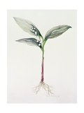 Lily of the Valley, 1995 Giclee Print by Iona Hordern