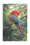 Scarlet Macaw, 1989 Giclee Print by Sandra Lawrence