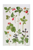 Strawberries, Raspberries and Other Edible Berries Giclee Print by Elizabeth Rice
